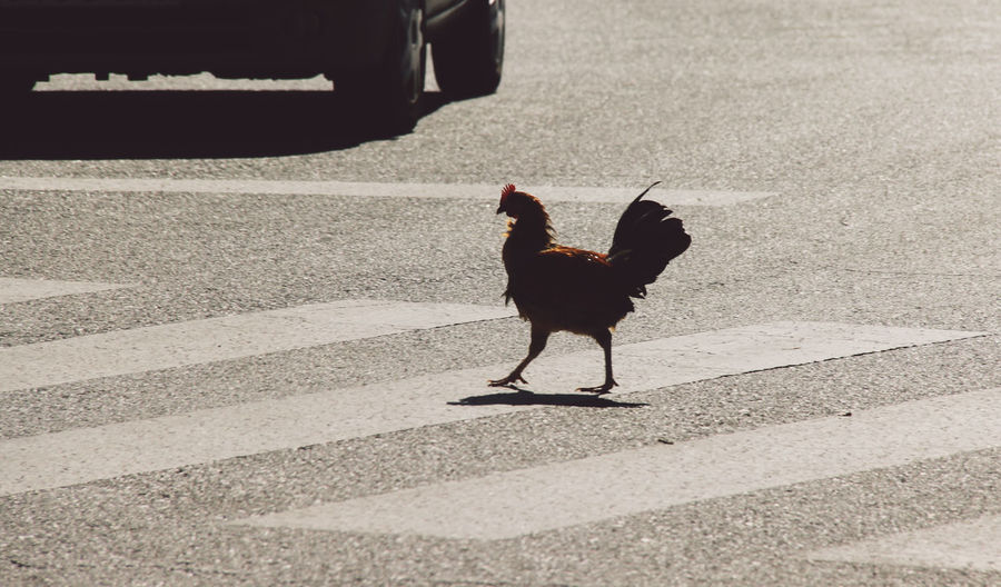 Animal Bird Chicken Chicken Crossing The Street The Following Domestic Animals Feather  Friendship Full Length Fun Ground Leisure Activity Lifestyles Male Animal Occupation One Animal Outdoors Pedestrian Crossing Rooster Rooster In The City Side View Standing Why Did The Chicken Cross The Street Snap A Stranger