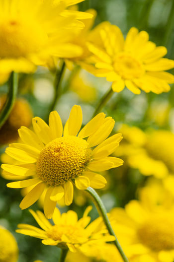Close up view of an anthemis flower. Daisy Anthemis Beauty In Nature Close Up Close-up Flower Flower Head Flowering Plant Fragility Freshness Growth Macro Nature Outdoors Petal Plant Vulnerability  Yellow