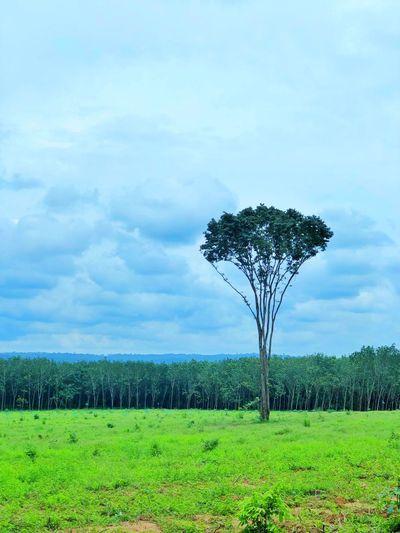 Big tree alone.