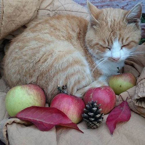 Cat Autumn Animal Pet colors leaves apple love