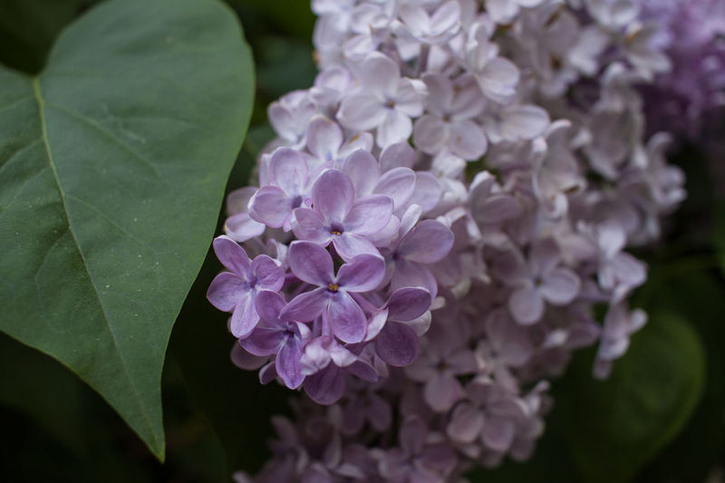 Flowering Plant Flower Plant Beauty In Nature Vulnerability  Fragility Freshness Leaf Close-up Petal Plant Part Growth Inflorescence Nature Flower Head Purple No People Hydrangea Botany Pink Color Lilac Bunch Of Flowers