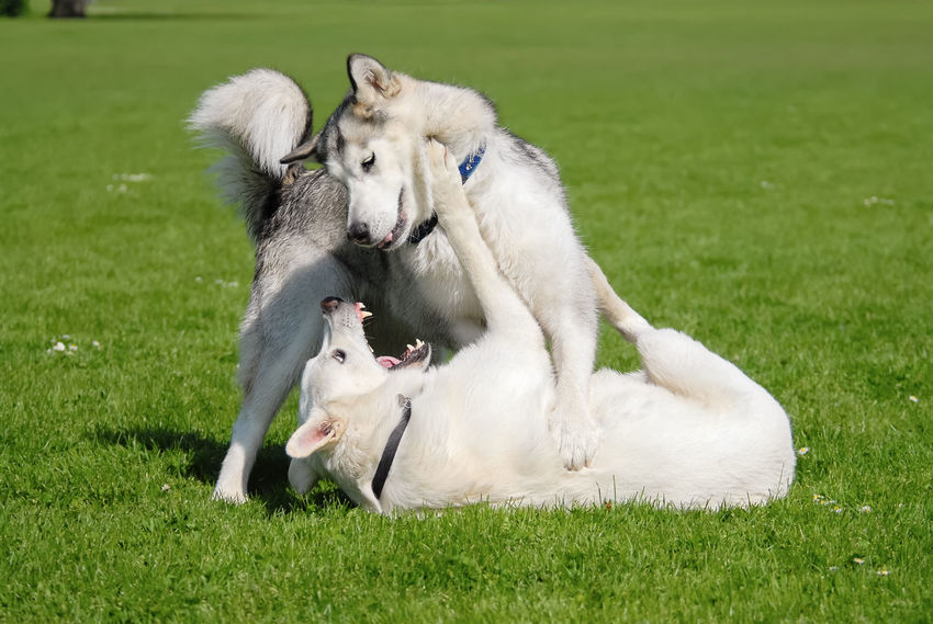 Alaskan Malamute and White Swiss Shepherd, two dogs playing together and romp about in a meadow. Alaskan Malamute Fight Friends Funny Malamute White Shepherd Dog White Swiss Shepherd Dog Action Attack Dog Domestic Animals Frisky Frolic Have A Fight Pedigree Pets Play Playful Playing Romp Scuffle Snarl Snout Togetherness Wrangling