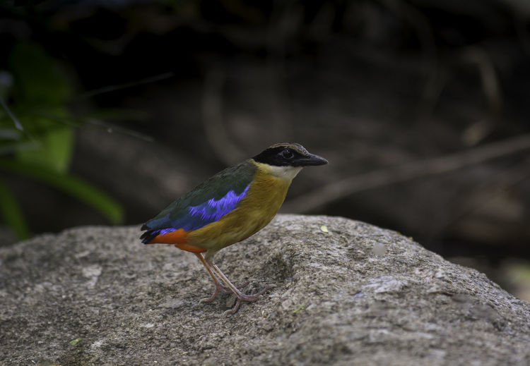 Blue-wing Pitta
