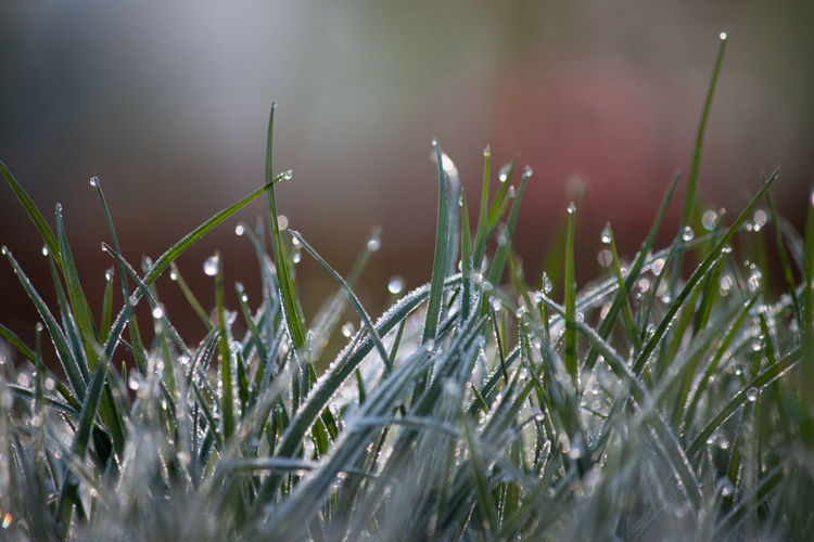 Close-up of wet grass during rainy season