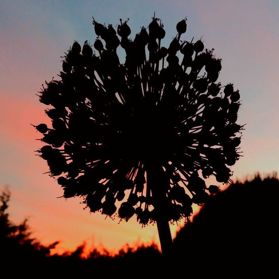 Ajo Animal Themes Anochecer Atardecer Beauty In Nature Close-up Day Flor Flor De Ajo Flower Flower Head Fragility Garlic Garlic Flower Growth Nature No People Outdoors Puesta De Sol Scenics Silhouette Silueta Sky Sunset Tranquility