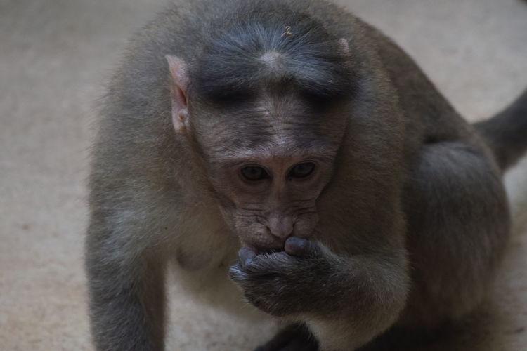 Bonnet Monkey-