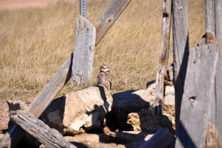 Animal Animals In The Wild Animal Wildlife One Animal Bird Wood - Material Fence Post Pole Owl Burrowing Owl Raptor Bird Of Prey Predator Plains Prairie Ground Burrow Wildlife Grass Grassland Rock Wood