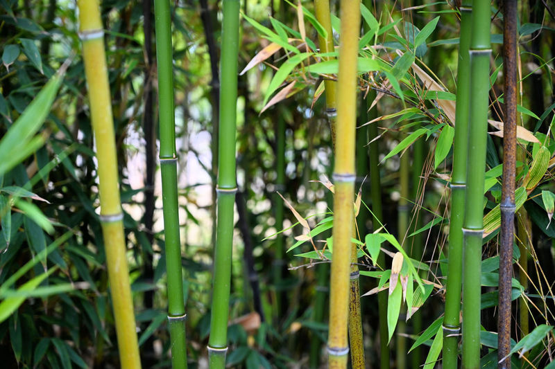 Bamboos in the farm Plant Growth Beauty In Nature Day Nature Green Color Bamboo - Plant No People Tranquility Outdoors Land