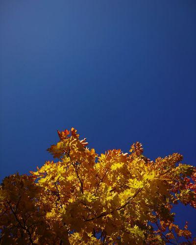 polish autumn Landscape EyeEm Best Shots EyeEm Best Shots - Nature Nature Beauty In Nature Minimalism EyeEm Best Edits Autumn Autumn colors Colors Tree Blue Sky Close-up Fall Leaves