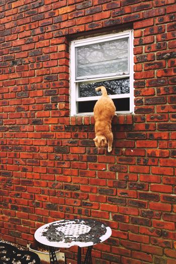 Nibs the Cat On The Hunt Catstagram Orange Cat Cat Photography Kitty Brick Wall Window Architecture Built Structure Red No People Domestic Cat Building Exterior Animal Themes Outdoors Day