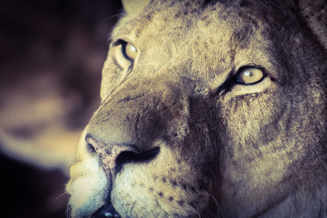 one animal, animal themes, animal head, animals in the wild, mammal, close-up, wildlife, no people, portrait, lion - feline, safari animals, outdoors, day, nature, leopard