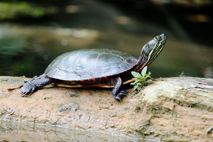 Turtle Painted Turtle Red Eared Slider Red-eared Slider Swamplife River Space Shield Sea Turtle Marsh Crawling Wetland Swamp Animal Shell