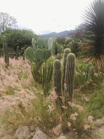 Tierra de 🌵 / Mitla, Oaxaca. Zapoteca Oaxaca Mexico Ancient Civilization Saguaro Cactus Cactus Prickly Pear Cactus Close-up Plant Growing Succulent Plant