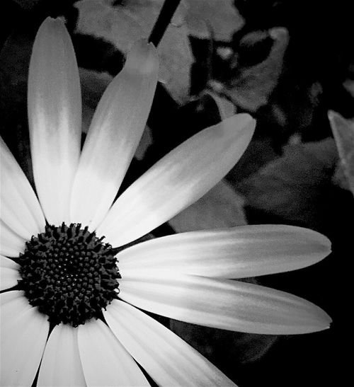 My Friday b&w post... Black And White Photography Black & White Black And White Collection  Black And White Flower Collection Monochrome Floralphotography Flowerphotography Flower Phonephotography Flowers, Nature And Beauty Flowers,Plants & Garden