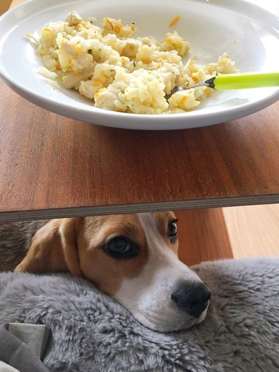 Begging Beggingdog Food Indoors  Pets Dog Beagle Domestic Animals Animal Themes No People Day Rice Plate With Food Dog Eyes Dog Under Table Sad Dog Eyes Sad Dog