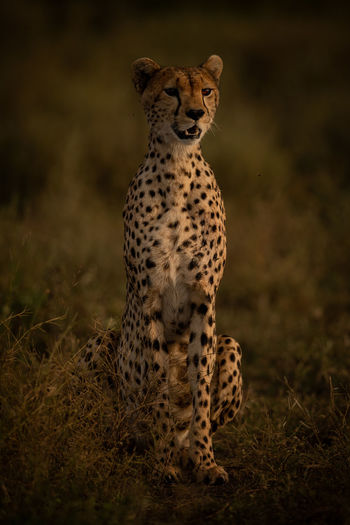 View of cheetah siting on field