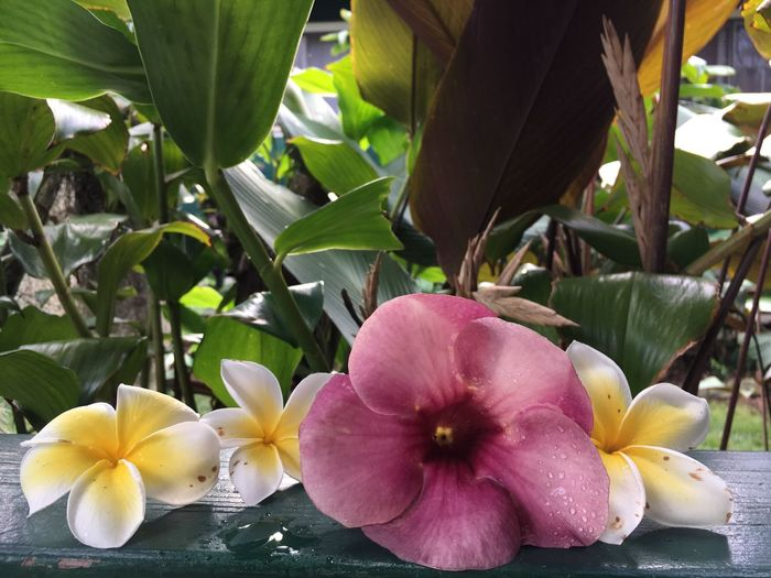 Close-up of frangipani flowers against blurred background