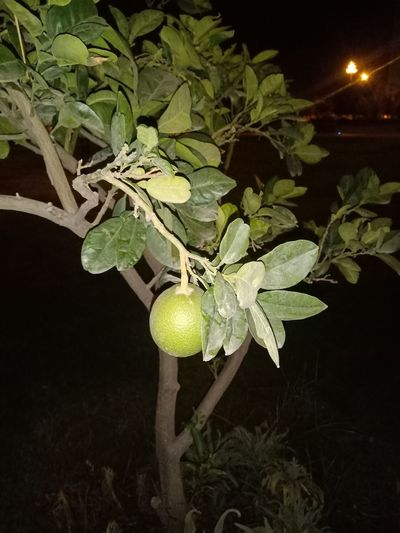 Close-up of fruits growing on tree at night