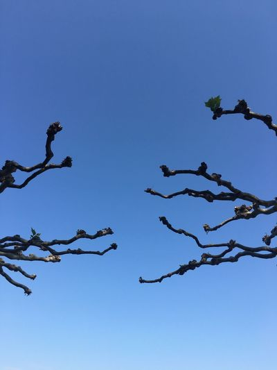 Low angle view of birds on tree against clear blue sky