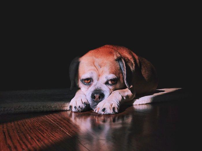 Portrait of puppy relaxing hardwood floor