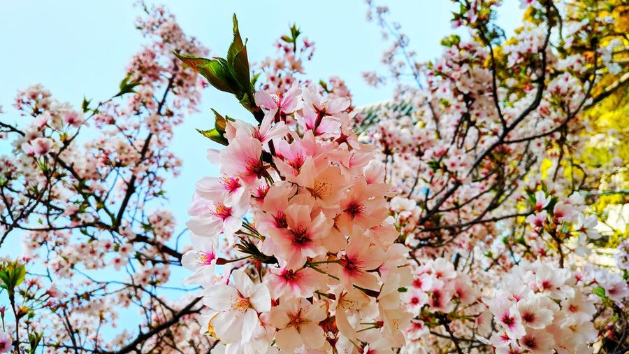Sakura in bloom Nature Nature Photography Nature_collection Green Leaves Sunny Day Park Florals Flowering Plant Flower Collection Flowers Sakura Blossom Sakura Japan Cherry Blossoms Beautiful Nature City Park Naturelovers Hanami Flower Head Tree Flower Branch Springtime Pink Color Blossom Botany Close-up Sky Cherry Blossom