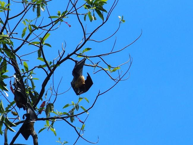 royal botanic garden of Sri Lanka Animals In The Wild Bat Bats Beauty In Nature Beauty In Nature Branch Ceylan Ceylon Fruit Bat Fruit Bats Megabat Megabats Nature Nature No People Outdoors Park - Man Made Space Peradeniya Royal Botanic Garden Sri Lanka