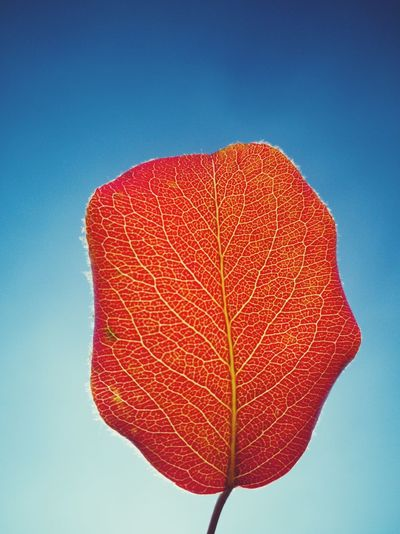 Close-up of red leaf against clear blue sky