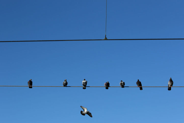 Pigeons perch on cable wire in estoril, portugal. low angle view of birds perching on cable.