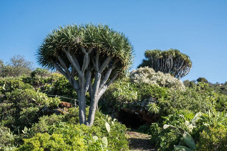 Cactus plant against clear sky