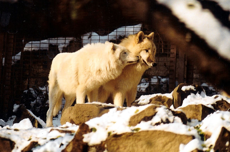 Animal Love Winter Wolf WOlves Zoo Be. Ready.
