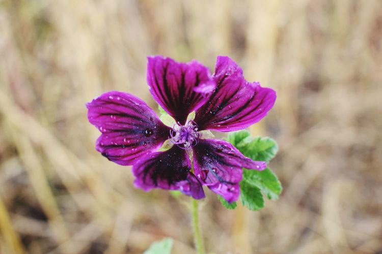 Flower Fragility Nature Growth Petal Beauty In Nature Freshness Purple Close-up Plant Blooming No People Flower Head Day Outdoors Hay Fall