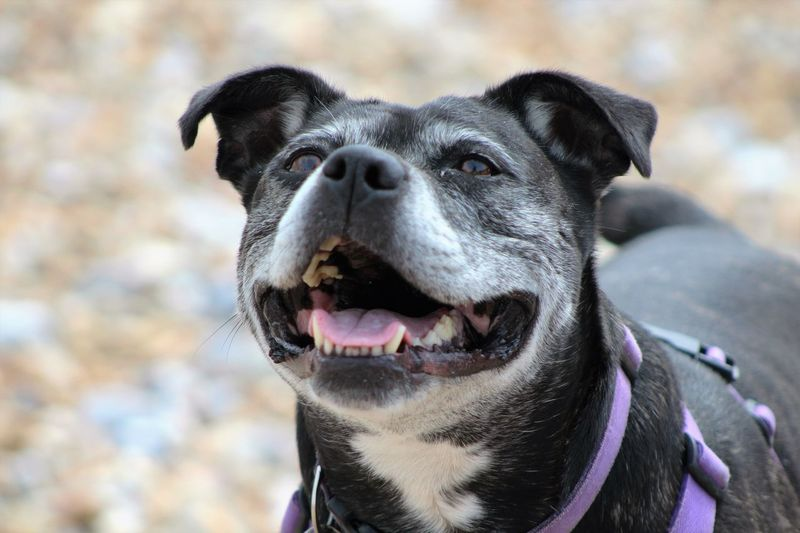 Cute Dog  Doglover Dog Love Dog Doggysmile Happiness Is A Dog At The Seaside 😄 Staffy Staffylovers Staffysmile Staffies There Softer Than You Think Pet Portraits