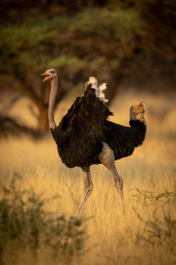 Male common ostrich runs squawking through trees