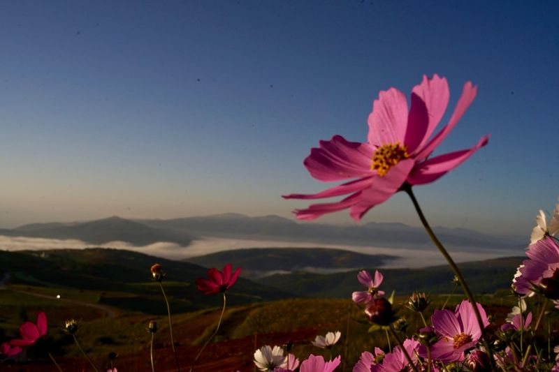 Close-Up Of Pink Cosmos Flowers Against Sky During Sunset