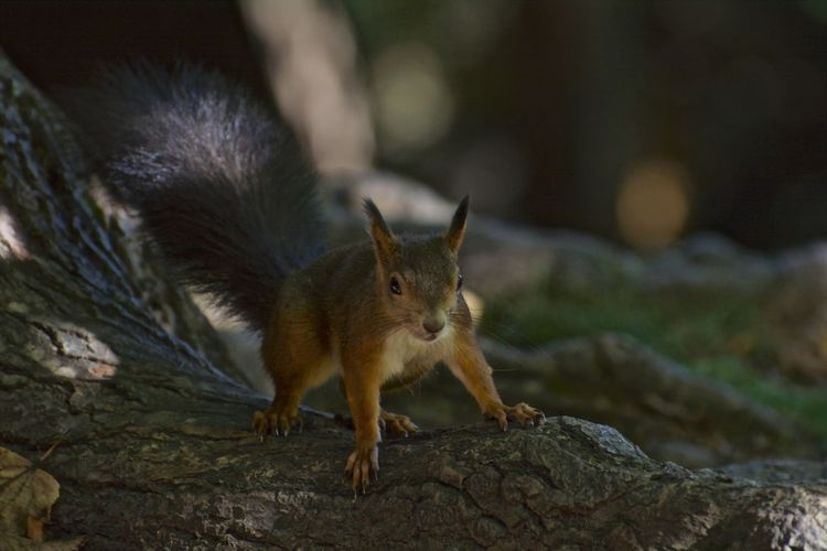 Red Squirrel Squirrel Animal Themes Animal Wildlife Animals In The Wild Close-up Nature No People One Animal Outdoors