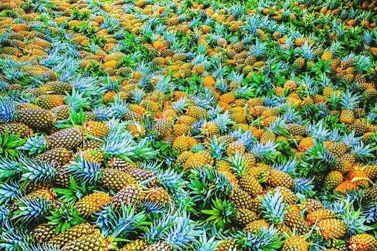 Harvest pineapple queen of camarines norte philippines