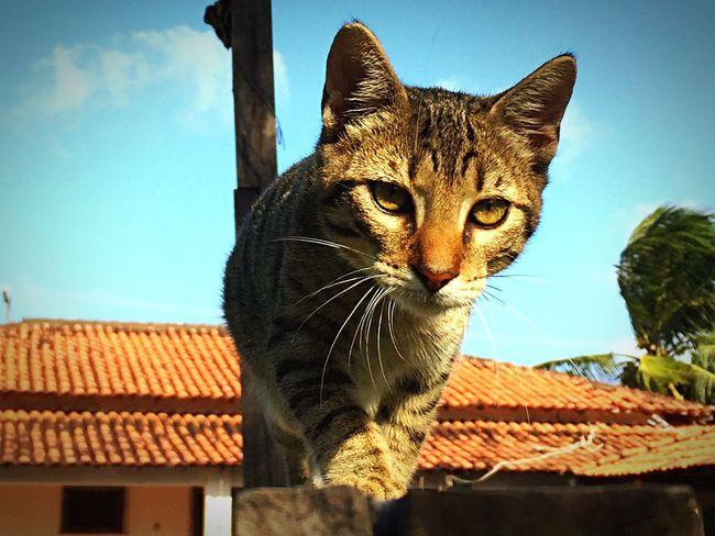 Cat Gato Viralata Iphone6
