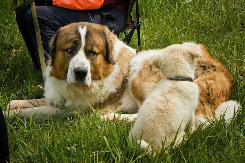 Dog Pets Grass