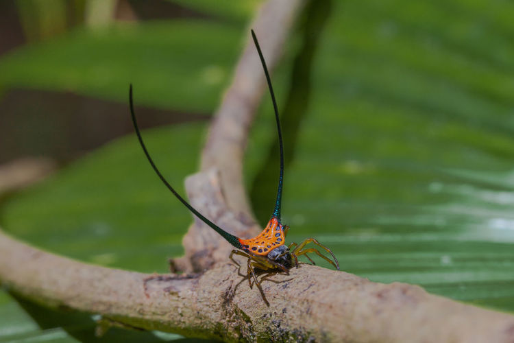 beautiful spider long horn Orb weaver on the leaf. Macracantha arcuata curved spiny spider Beautiful, Fly Nature Spider Arachnid, Arcuada Curved, Entomology, Fly, Long-horn, Macracantha Macro Predator, Hunting, Butchering Prison,bike, Wildlife,