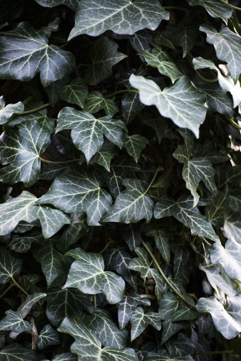 Beauty In Nature Close-up Day Fragility Freshness Growth Ivy Leaf Nature No People Outdoors Plant Poison Ivy