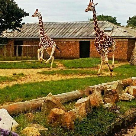 London Londonzoo Zoo Animals Giraffes Service Animals