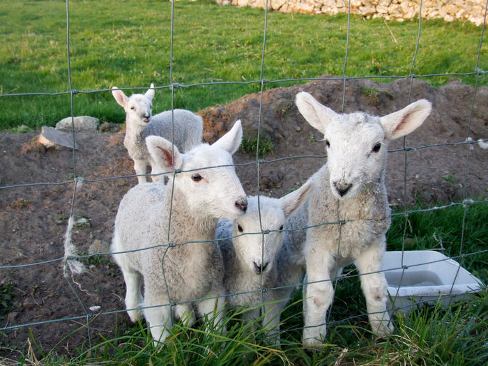 Four pet lambs. Animal Themes Animals Countryside Croft Cute Day Field Grass Island Life Lambs Livestock Outer Hebrides Pet Lambs Sheep Togetherness Young Animal