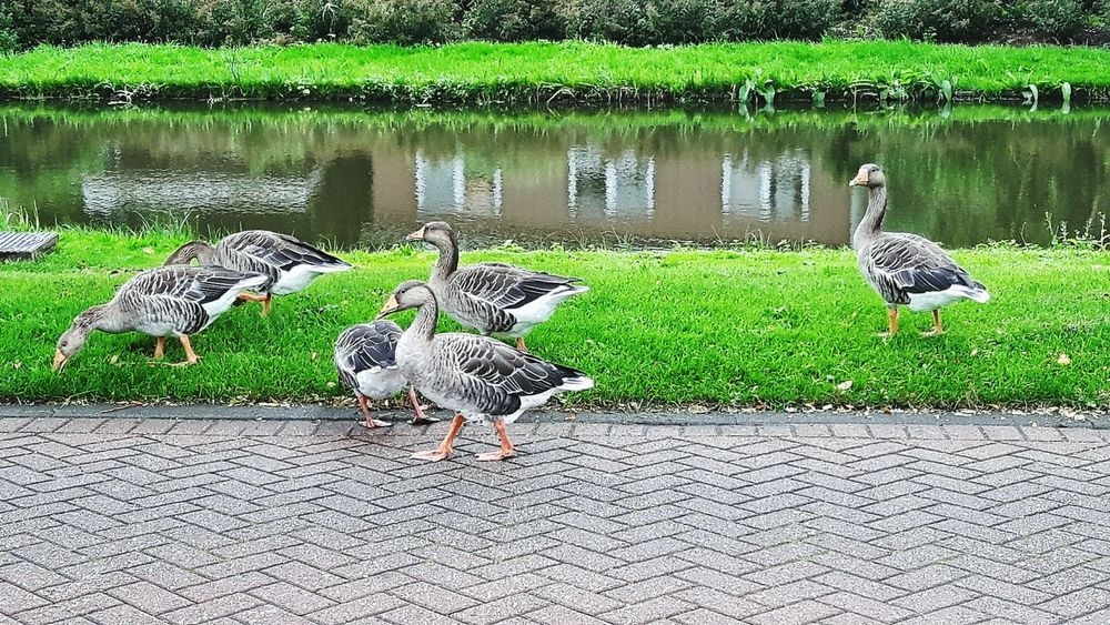 I saw the 6 geese on my way to the shop today. 3 of them are eating 🌱Animals On The Road Geese Six Geese Day Outdoors Water Ditch No People Grasses Plants 🌱 Green Color Green Grass 🌱 Reflections In The Water Houses Reflected In Water Holland❤ EyEmNewHere