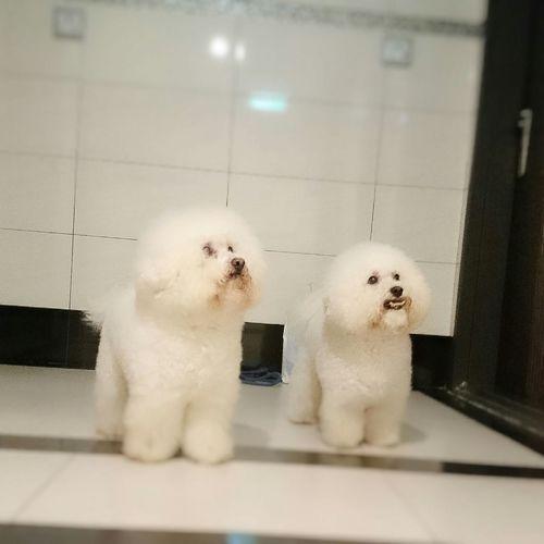Waiting for the lift. 比熊 比熊犬 寵物 Bichon Bichonfrise Puppy Dog Pet Fluffy ビションフリーゼ