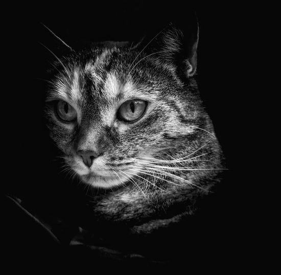 Animal Themes AntiM Black Background Blackandwhite Cat Portrait Close-up Domestic Animals Domestic Cat Feline Indoors  Looking At Camera Mammal No People One Animal Pets Portrait Serious Cat Tabby Cat