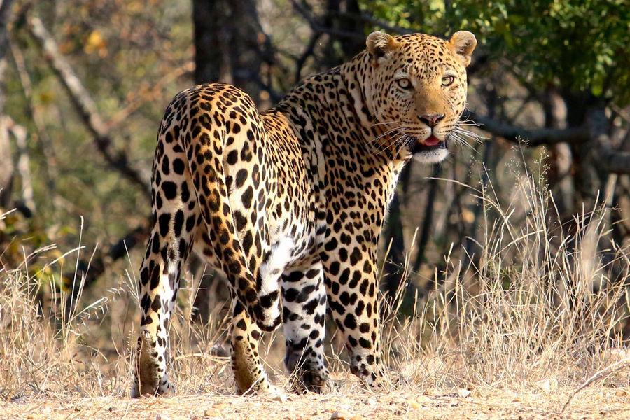 African Leopard Animal Wildlife Animals In The Wild Big Cat Big Cat With Spots Face Good Shot!!! Leopard Leopard In Wilderness Leopard Print Mammal Nature One Animal Outdoors Safari Safari Animals Spotted Spotted Coat Stare Tail Of ;leopard Wild Look First Eyeem Photo