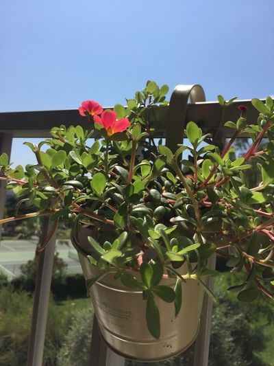 Close-up of potted plant against clear sky