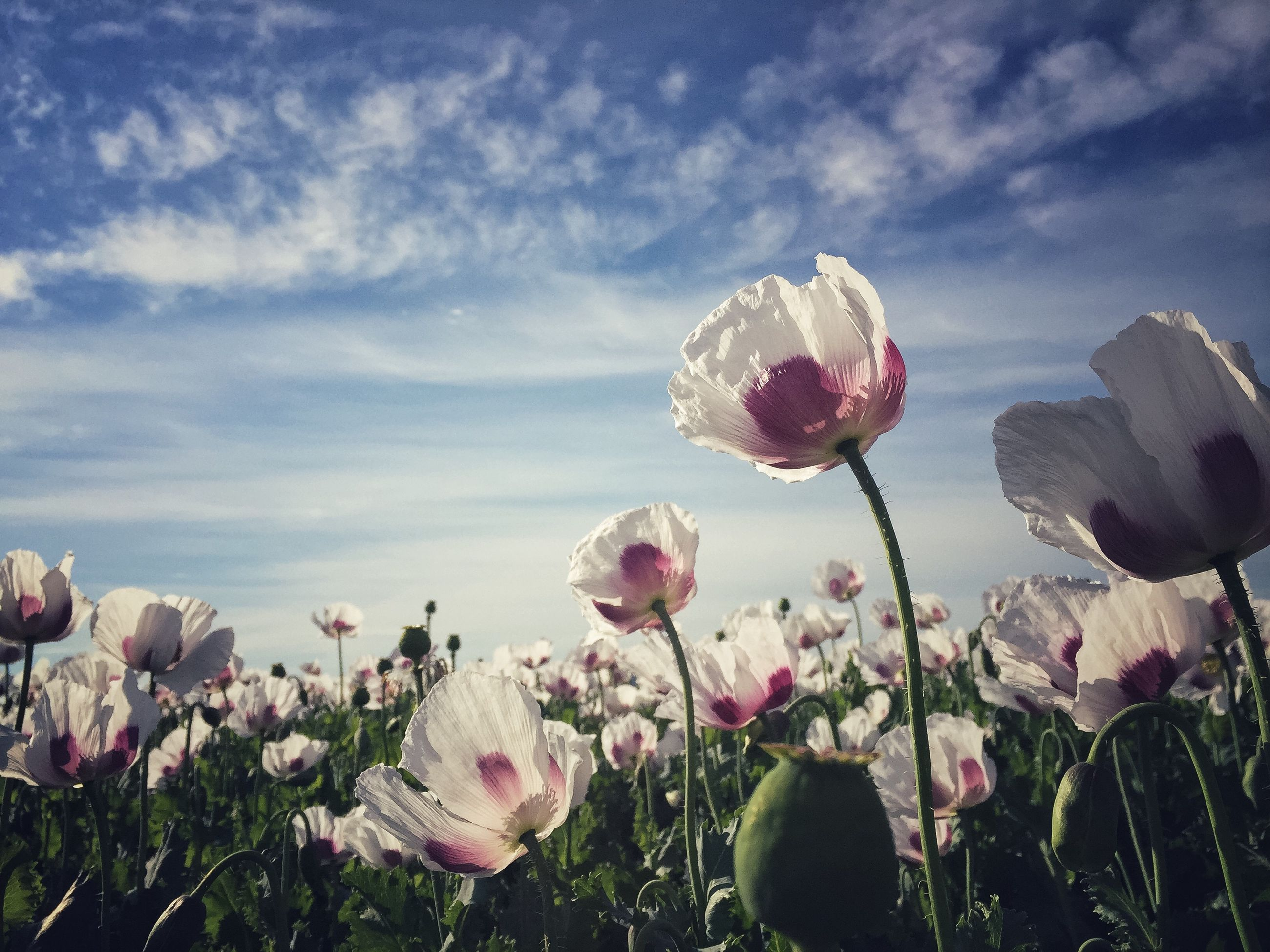 fragility, freshness, flower, growth, beauty in nature, petal, sky, flower head, in bloom, stem, nature, close-up, blossom, cloud, springtime, plant, season, botany, pink color, field, cloud - sky, focus on foreground, abundance, day, scenics, blooming, outdoors, growing, garden, no people, tranquility
