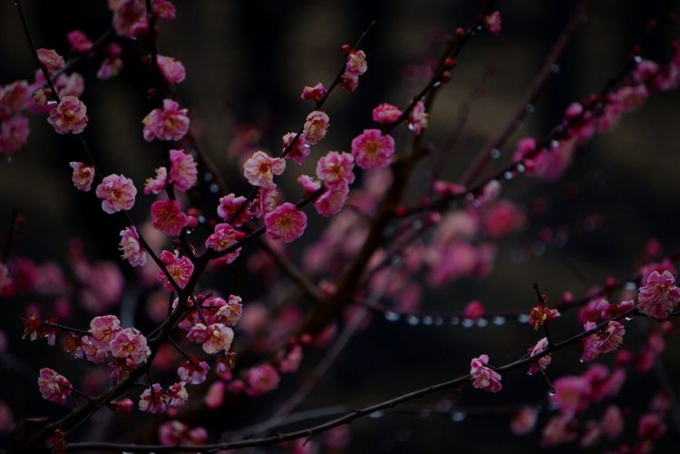 Plum Blossom Blooming In Park
