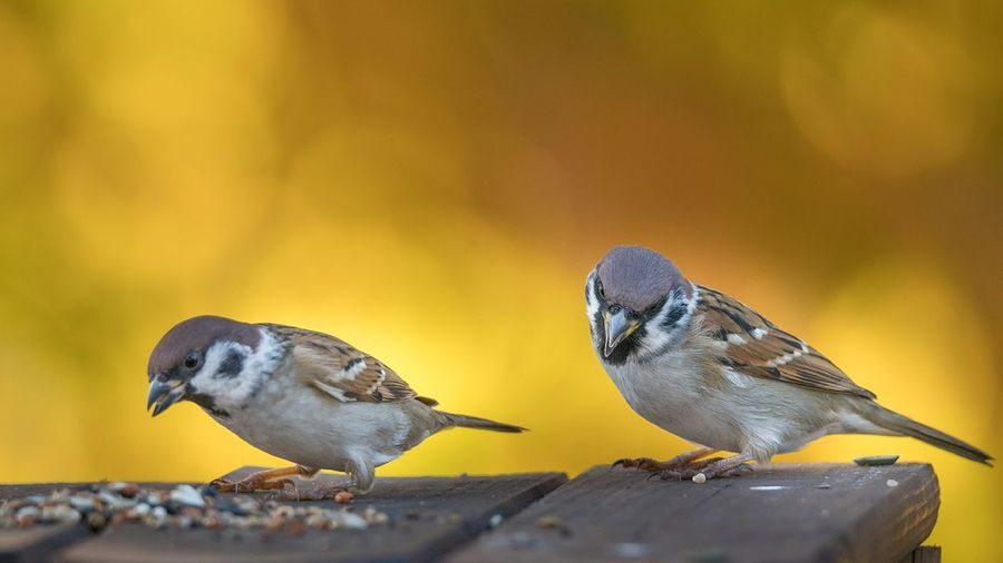 Sparrows hanging on to a birdfeeder in the garden. focus on the bird.